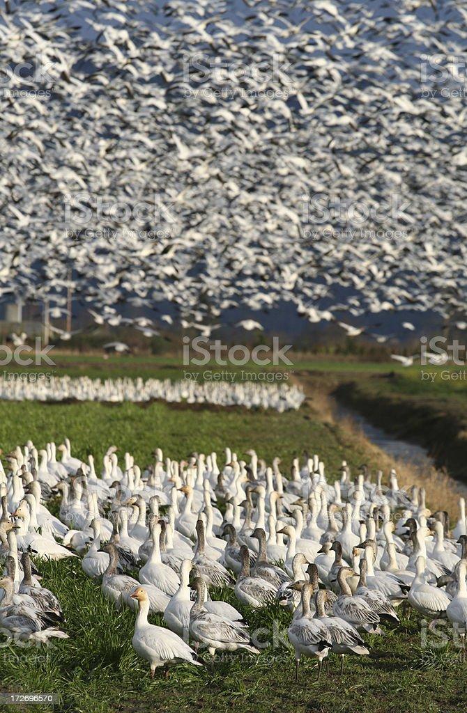 Snow Goose Flock royalty-free stock photo