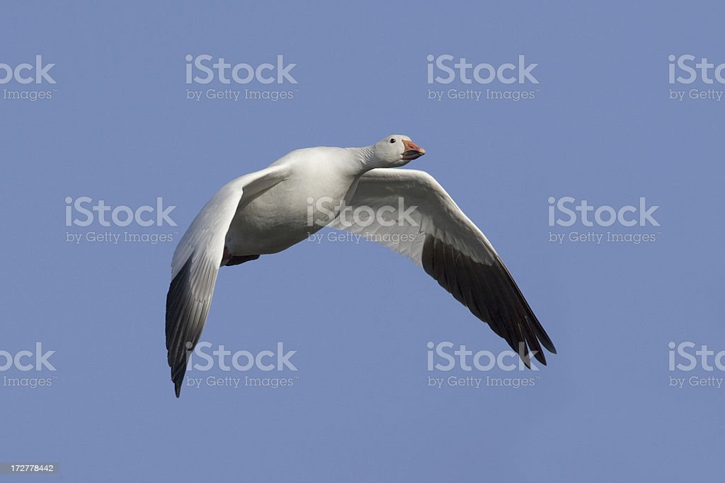 Snow Goose Flying and Blue Sky royalty-free stock photo