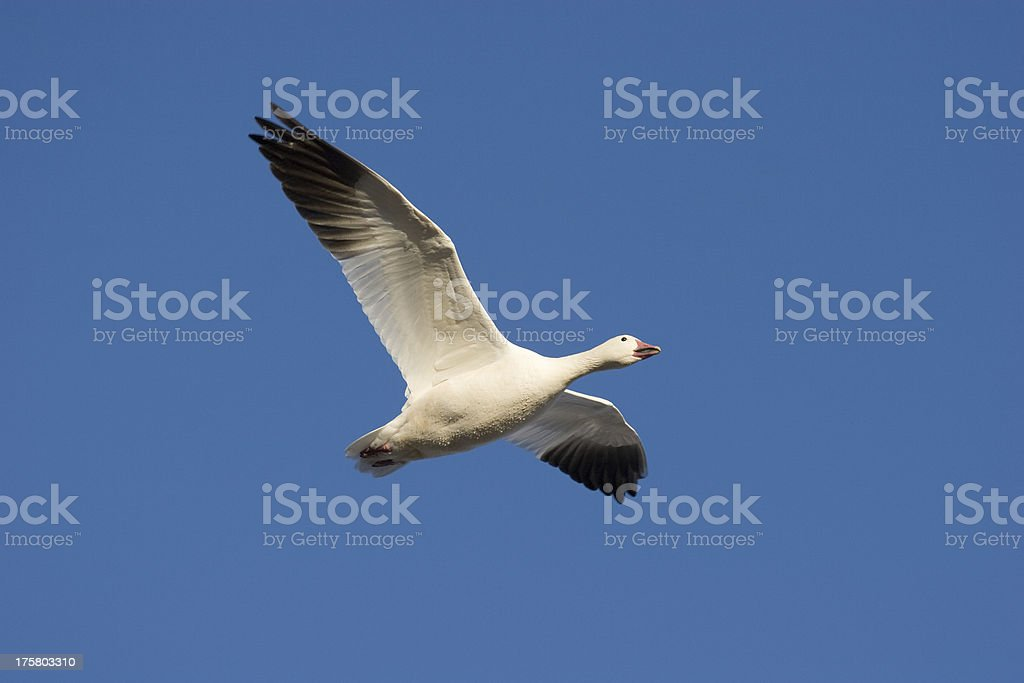 Snow Goose Flying royalty-free stock photo