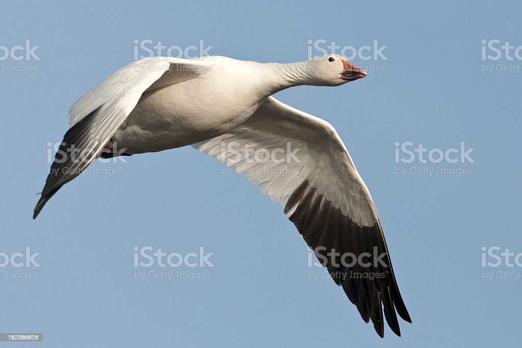 Snow Goose (Chen caerulescens) Flying through a Clear Blue Sky royalty-free stock photo