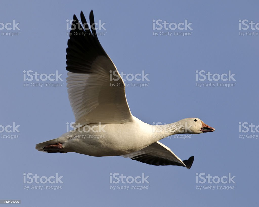 Snow Goose (Chen caerulescens) Flying through a Clear Blue Sky stock photo