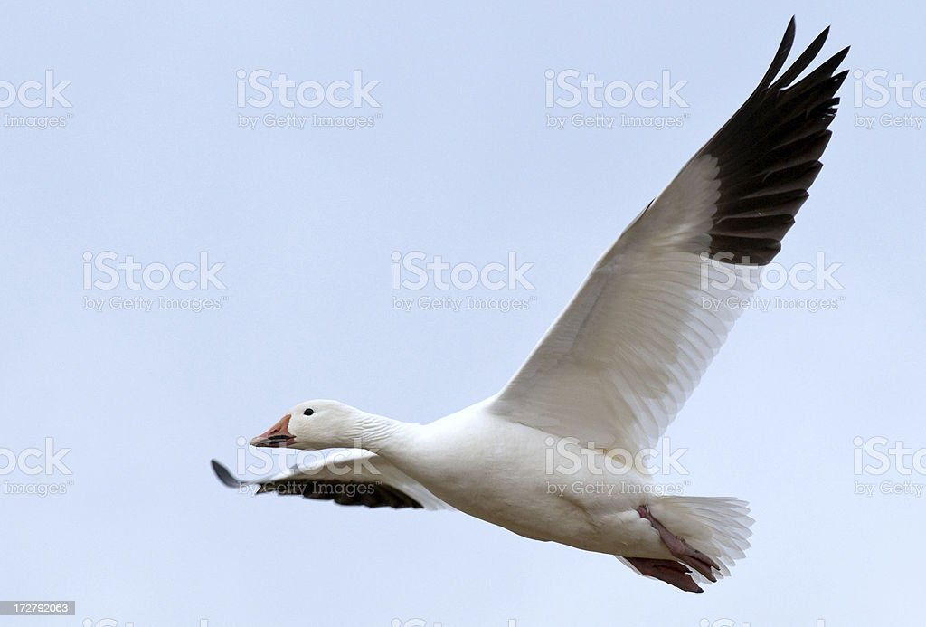 Snow Goose (Chen caerulescens) in Flight. royalty-free stock photo