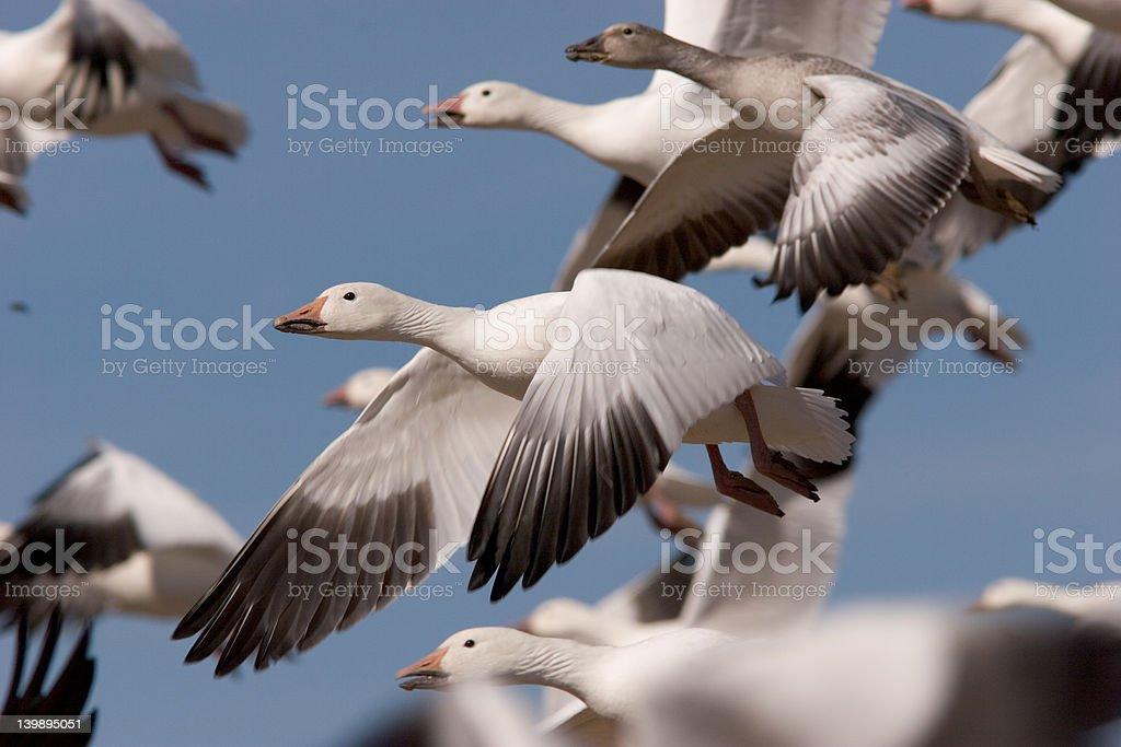 Snow Goose in flock stock photo