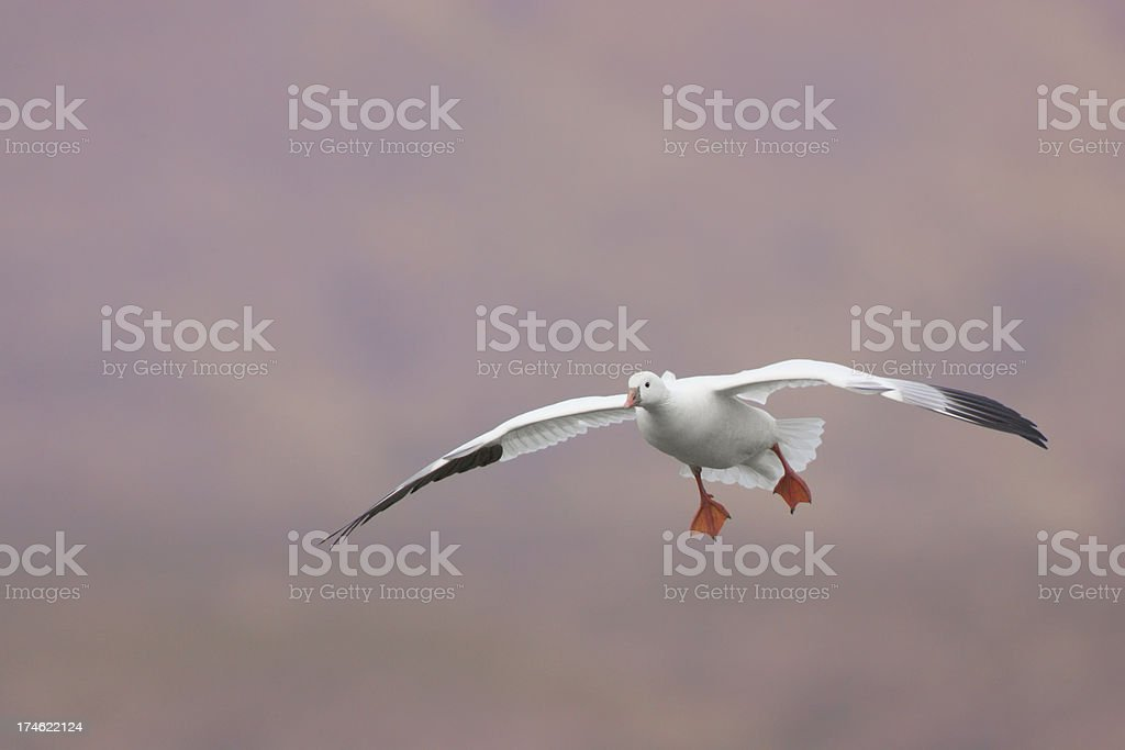 Snow Goose Landing stock photo