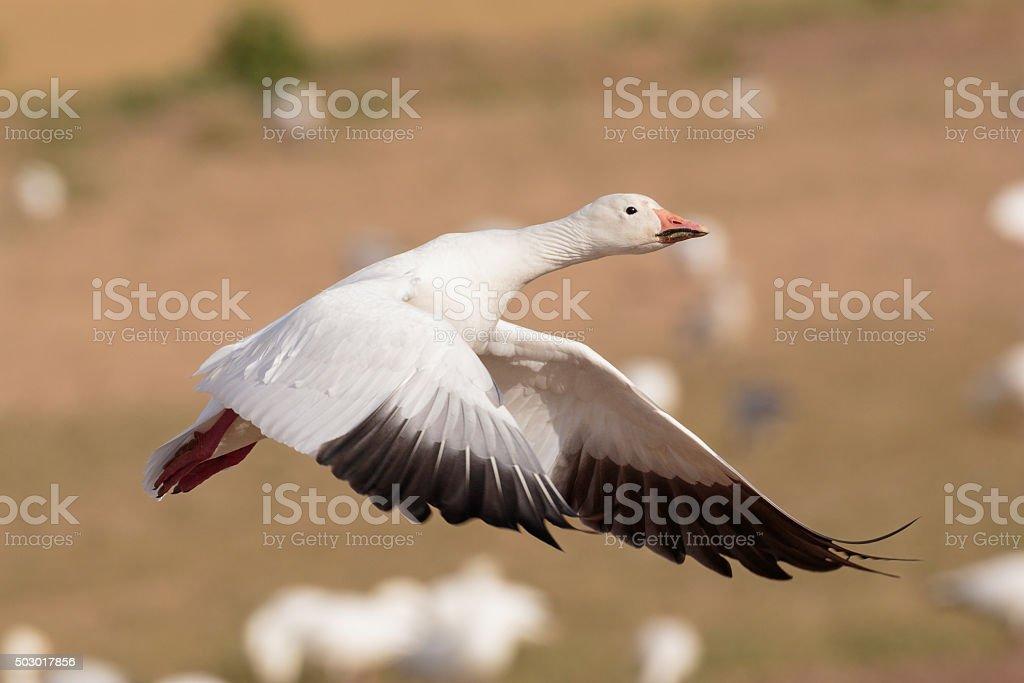 Snow Goose Liftoff stock photo