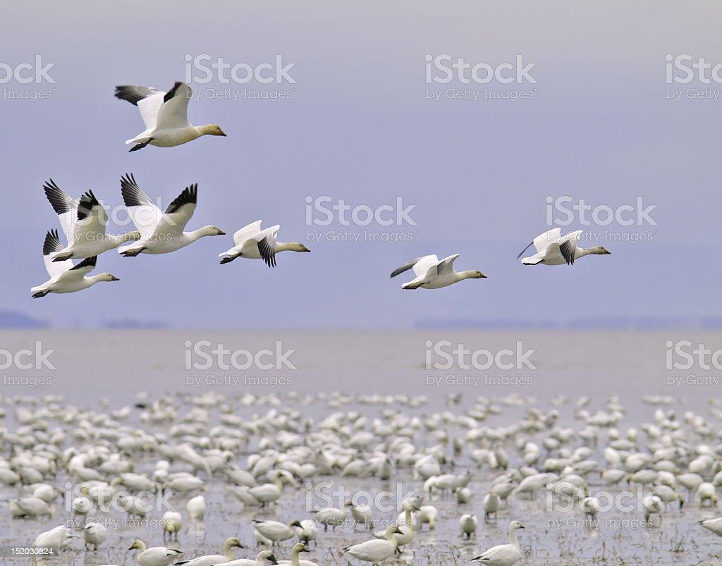 snow goose migration stock photo