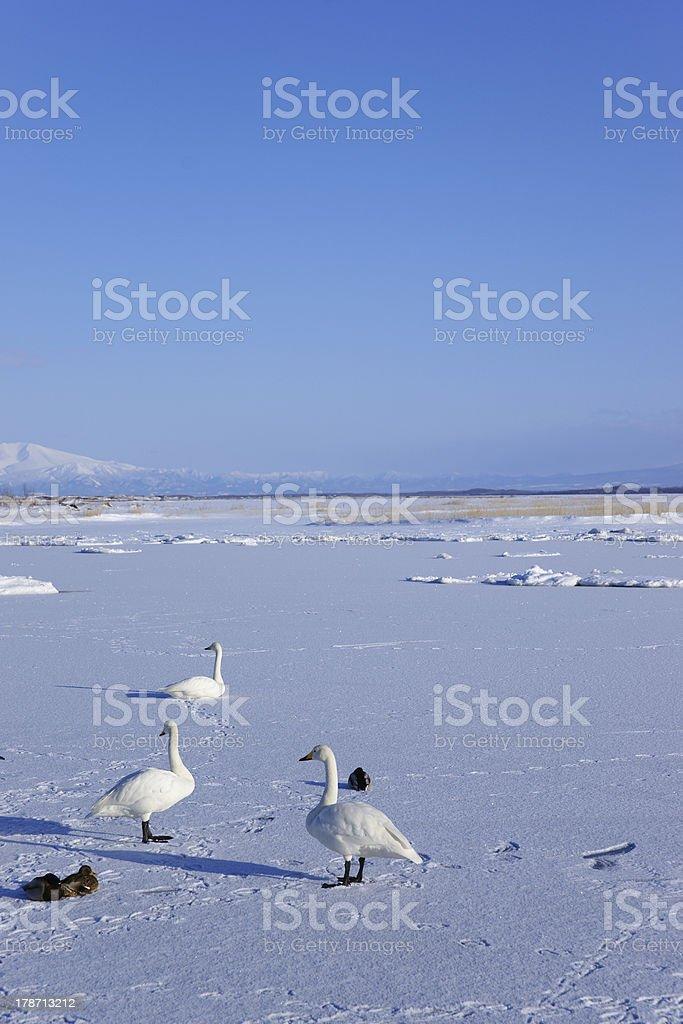 Snow goose royalty-free stock photo