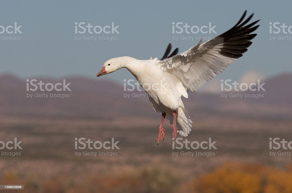 Snow Goose with wings back stock photo