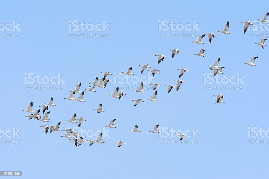 Snow goose flight stock photo