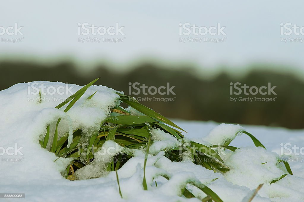 snow grass stock photo