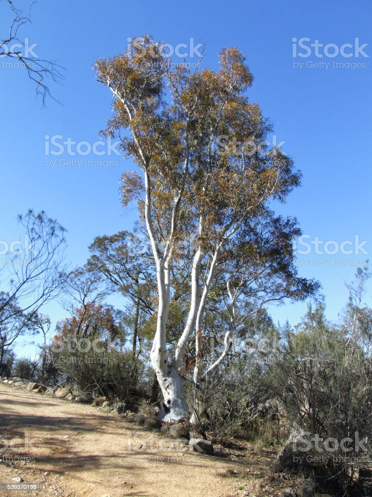 Snow Gum at Jindabyne stock photo
