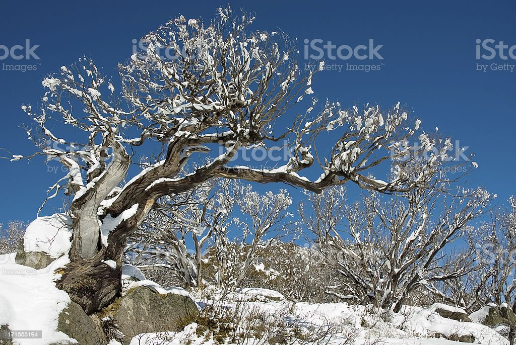 Snow Gum in rock stock photo