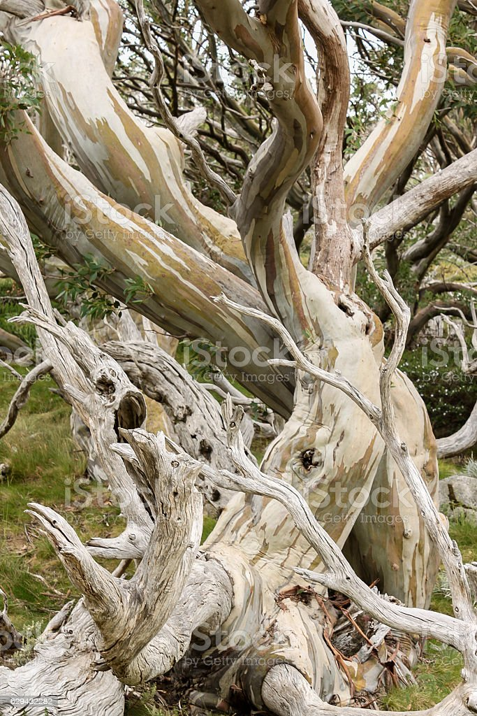 Snow Gum stock photo