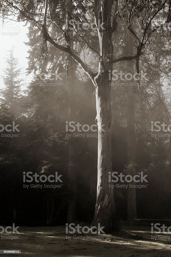 Snow Gum, Tasmania stock photo