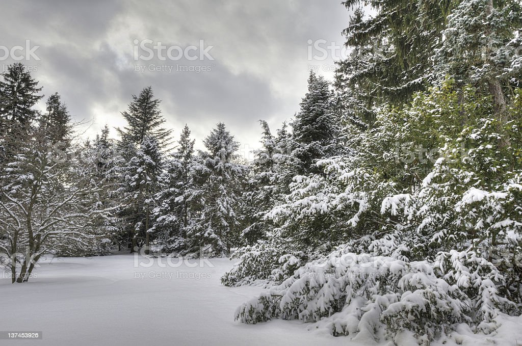 Snow in the Forest stock photo