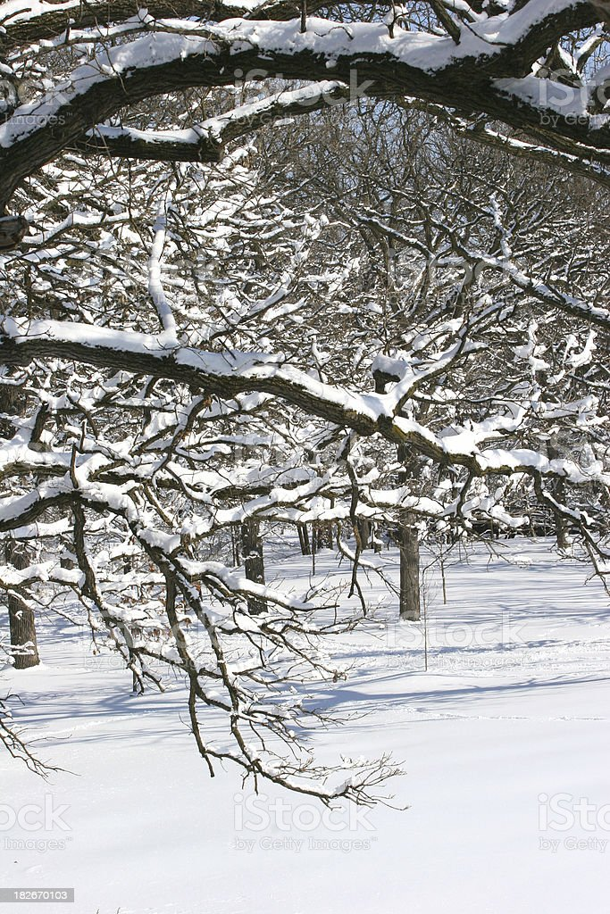 Snow Laden Branches royalty-free stock photo