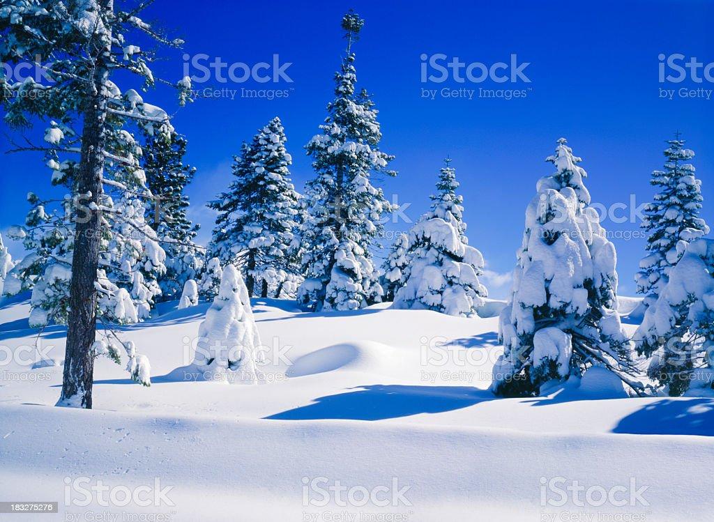 Snow Laden Pine Trees royalty-free stock photo