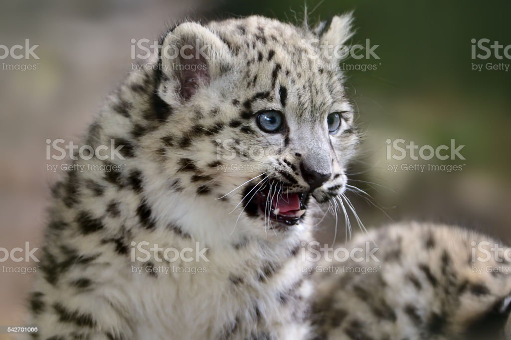 snow leopard baby stock photo
