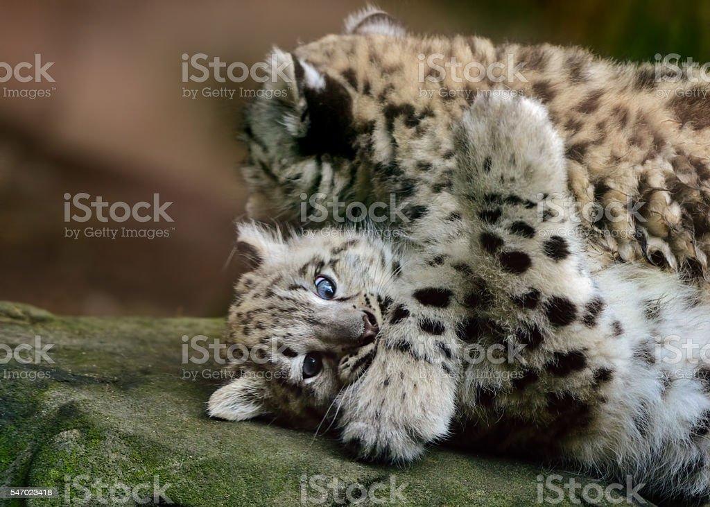 snow leopard babys stock photo