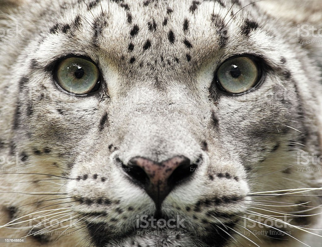 Snow Leopard Close Up (Uncia unc.) royalty-free stock photo