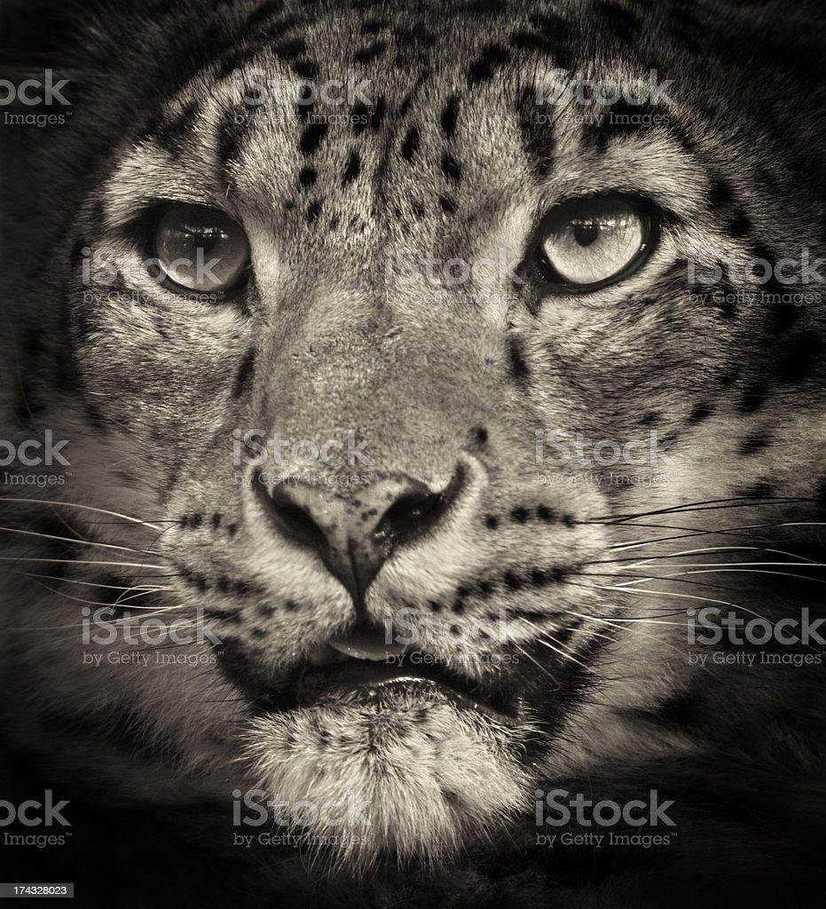 Snow Leopard (Panthera uncia) Close Up royalty-free stock photo