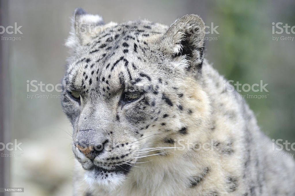 Snow leopard Close-up royalty-free stock photo