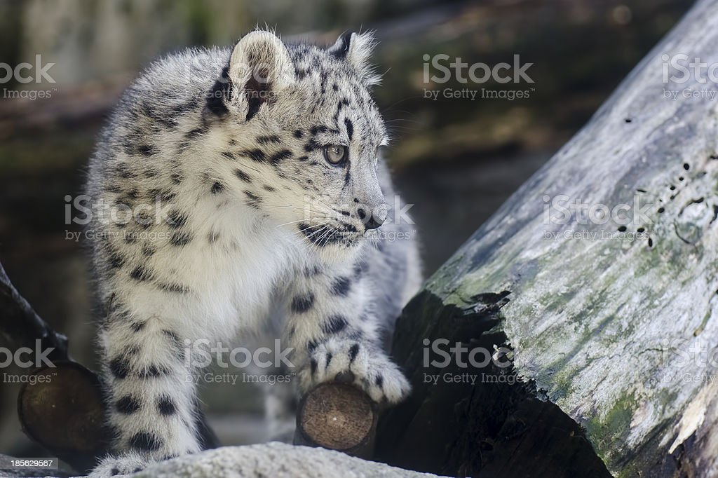 Snow Leopard Cub walking royalty-free stock photo
