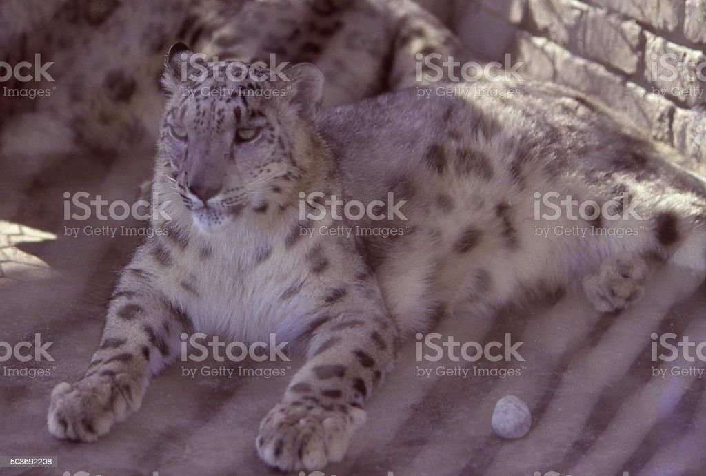 Snow Leopard illegal sale wildlife traffickers Beijing China East Asia stock photo