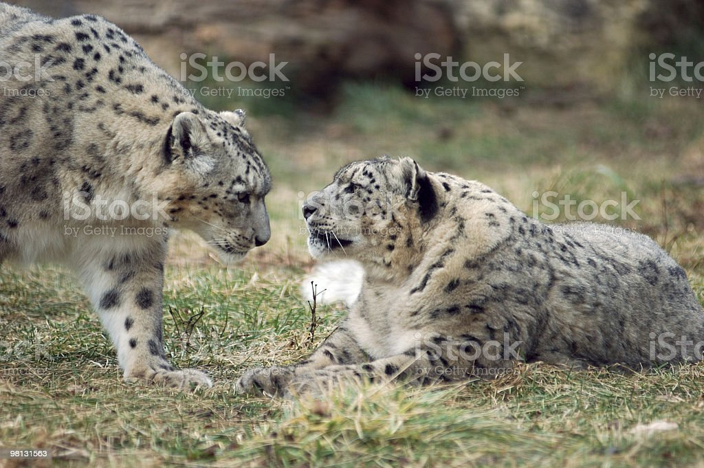 snow leopard pair royalty-free stock photo