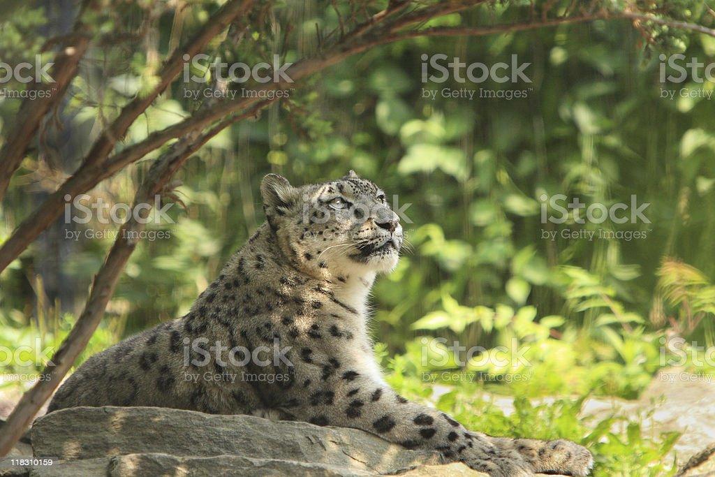 Snow Leopard, stock photo