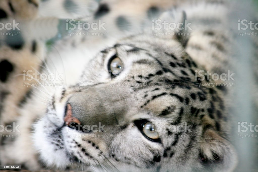 snow leopard (Panthera uncia) stock photo