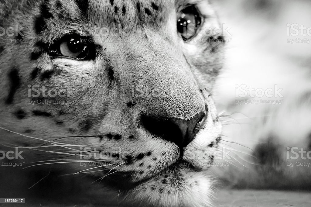 Snow leopard relaxing royalty-free stock photo