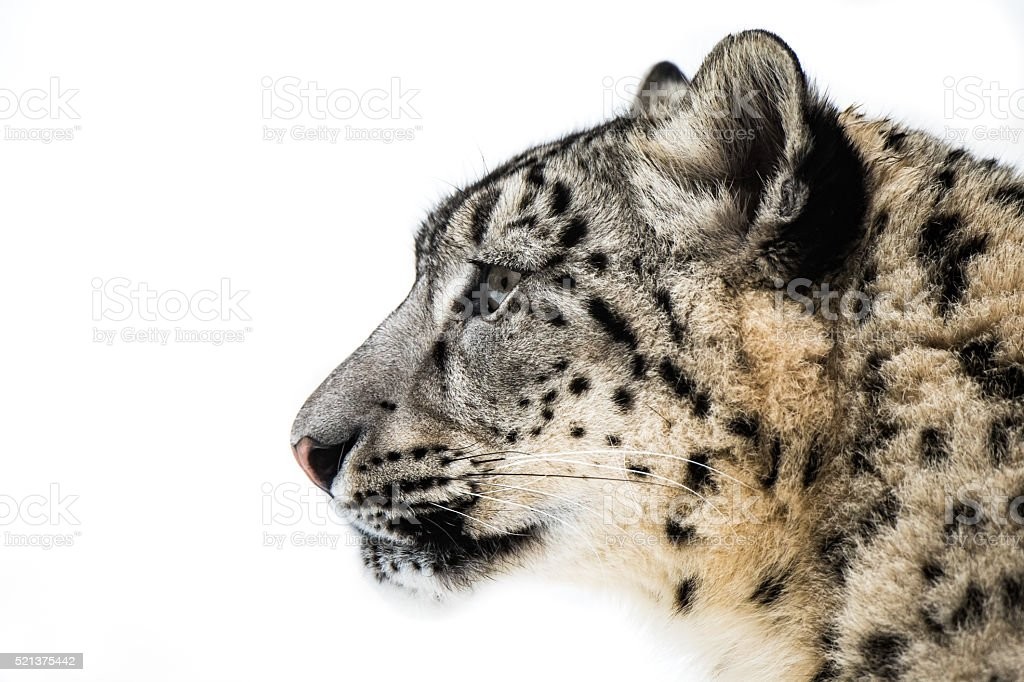 Snow Leopard XV stock photo