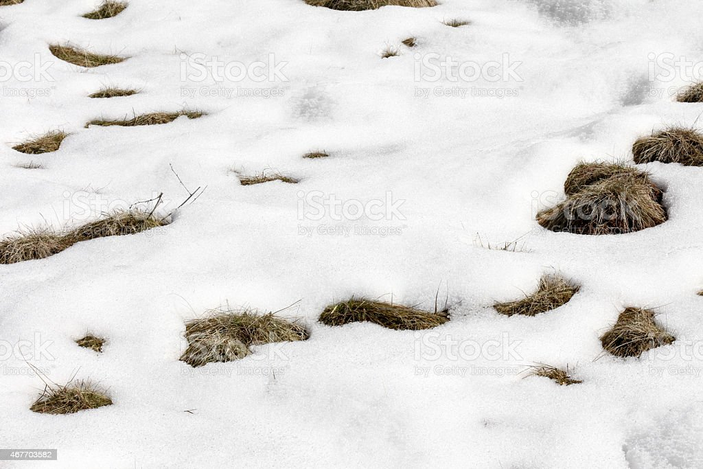 Snow Melting on Grass Clumps stock photo