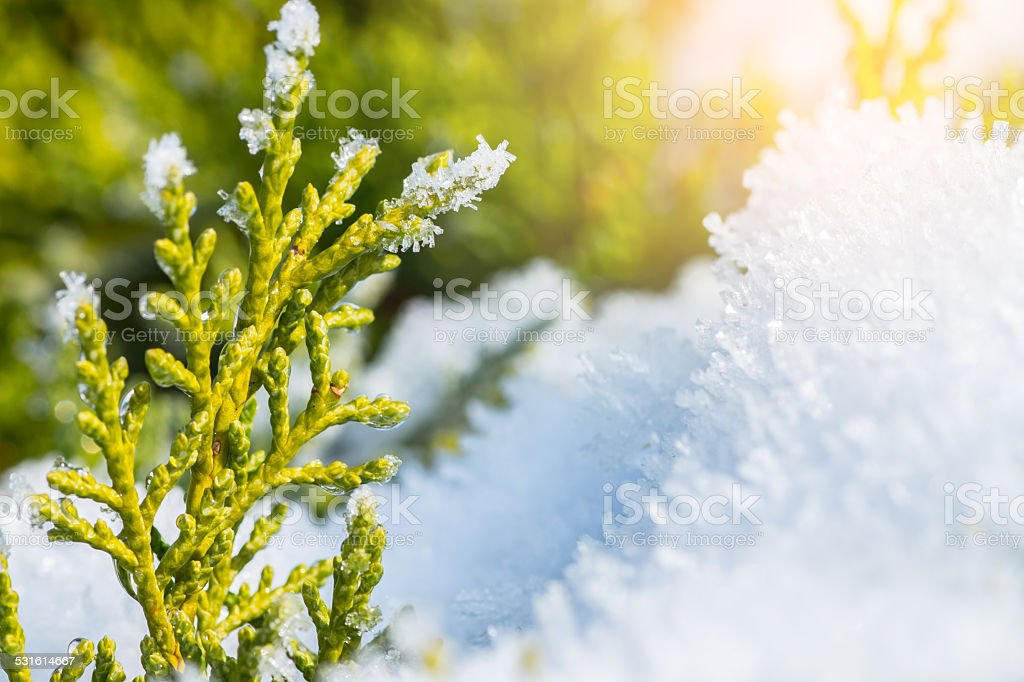 Snow melts on coniferous tree in winter stock photo