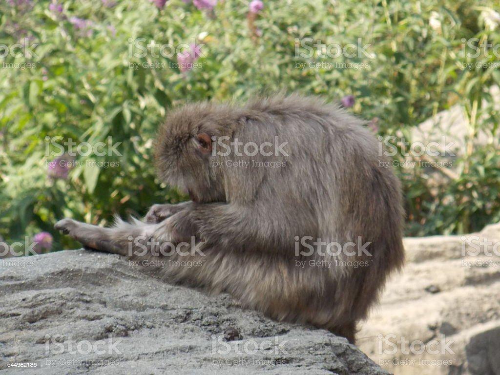 Snow Monkey Doing Yoga stock photo