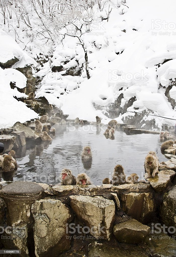 Snow Monkey: entire pool stock photo