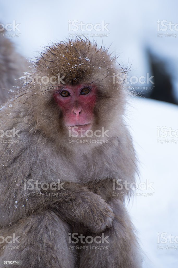 snow monkey looking at you stock photo