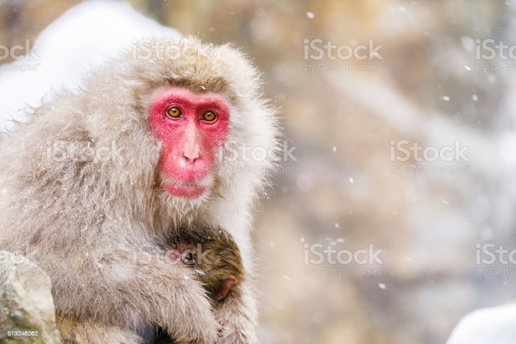 Snow Monkey Mother in the Wild stock photo