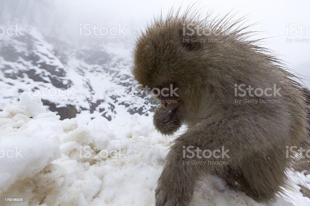 Snow Monkey royalty-free stock photo
