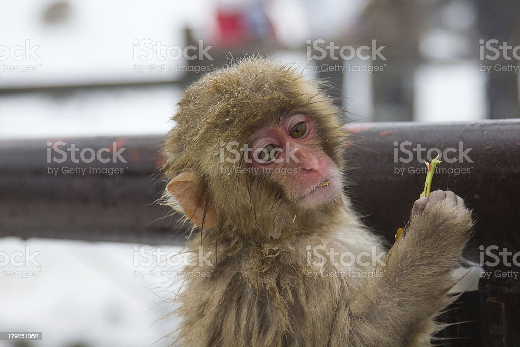 Snow Monkey royalty-free stock photo