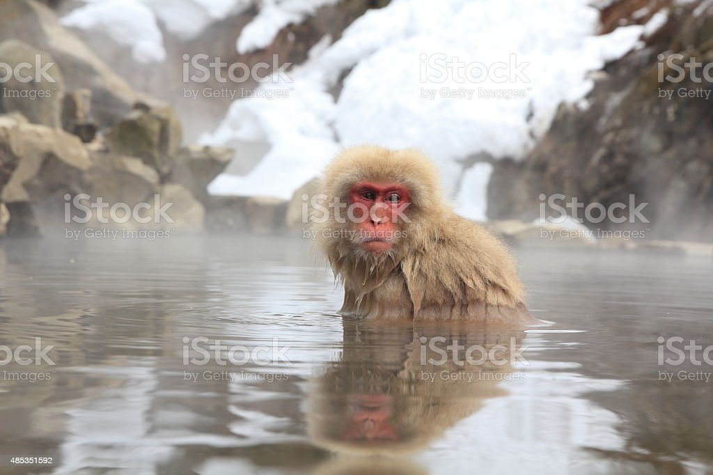 Snow monkey stock photo