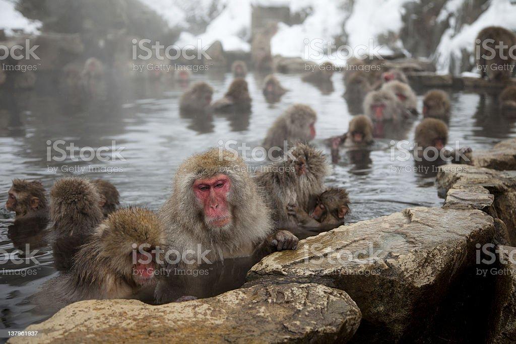 Snow monkeys bathing in a steam bath stock photo