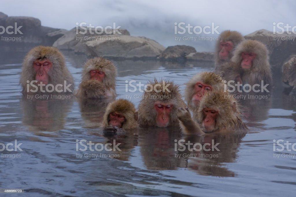 Snow monkeys bathing stock photo