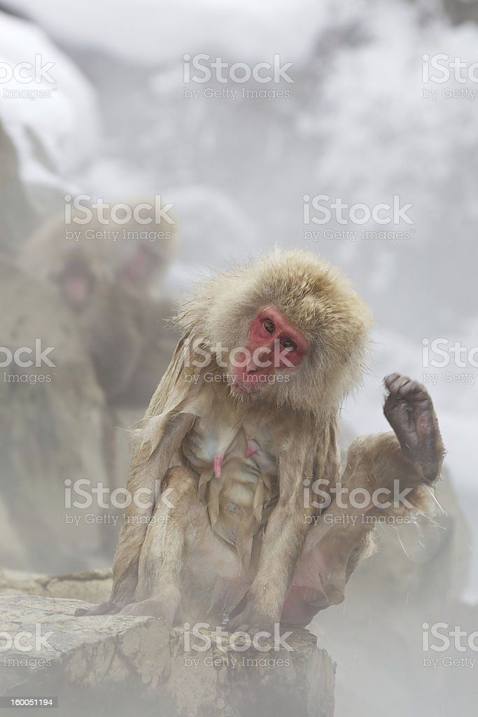Snow Monkeys In Hot Spring royalty-free stock photo