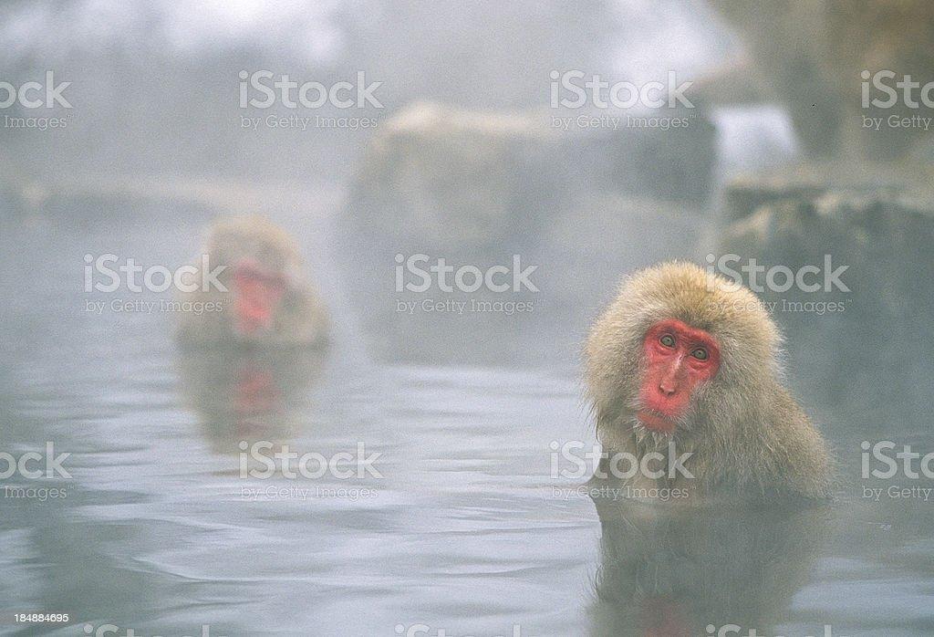 Snow Monkeys in Hot Spring Pool stock photo
