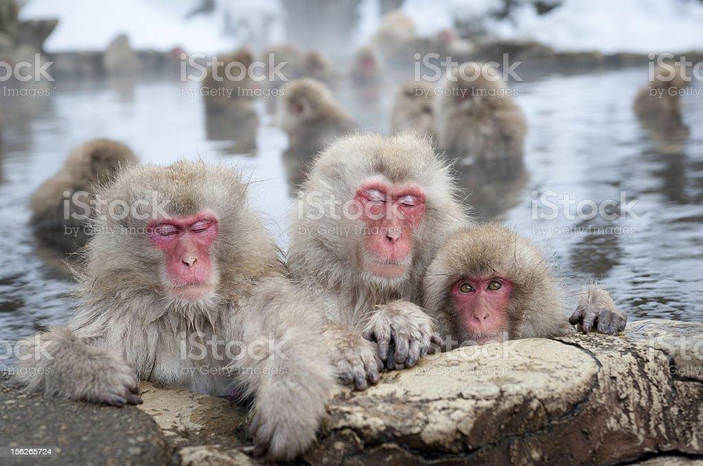 Snow Monkeys in Onsen stock photo