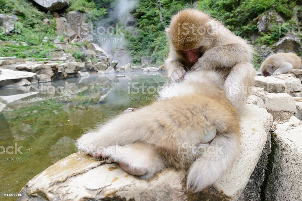 Snow monkeys in Yamanouchi (Nagano, Japan) stock photo