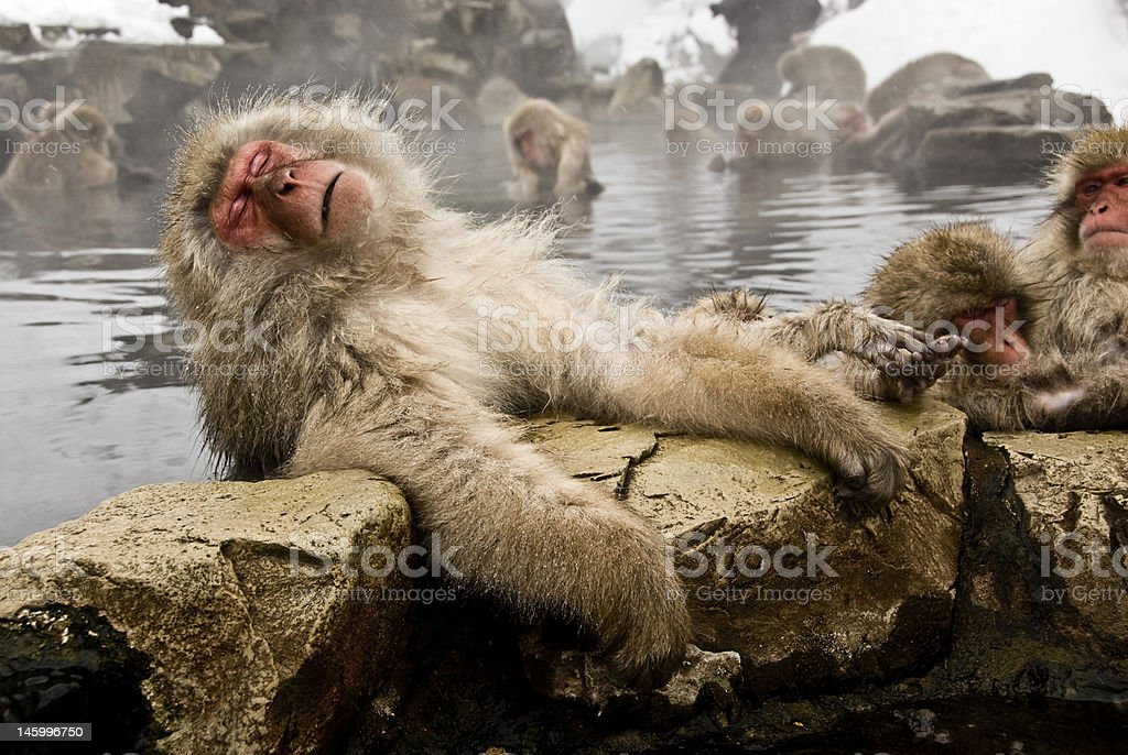 Snow Monkeys: old and tired stock photo