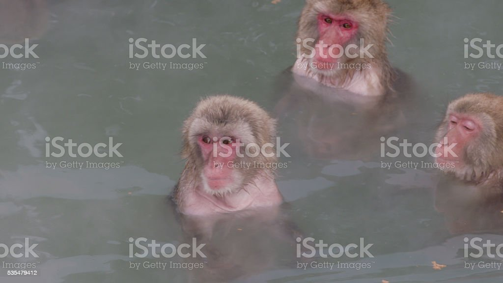 Snow Monkeys Relaxing in a Hotspring. Japanese Macaque Onsen Monkey stock photo
